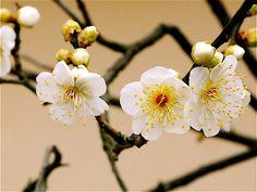 Japanese plum flowers