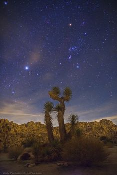 """Sirius, the brightest star of the night sky, and constellation Orion stand above a Joshua tree in an area known as the """"Wonderland of Rocks"""" near Joshua Tree National Park in the southern California. Wally Pacholka/Astropics.com"""