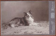 cabinet card photo superb Scottish Collie dog Colley chien berger Hund foto 1910