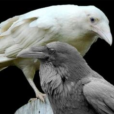 "The rare white raven. ""The birds are thought to be leucistic and not albino, the result of a genetic defect producing chicks lacking normal pigmentation. They are the result of the mating of two common ravens with the same genetic defect. The same pair could produce many generations of white ravens, since common black ravens are monogamous and long-lived."""