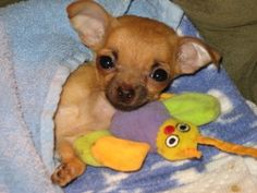The day eight-ounce Liza Doolittle entered the picture was the beginning of a love affair between two old women and a dying Chihuahua puppy.