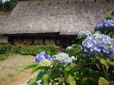 白川郷の紫陽花  shirakawa-go  2012.6.29