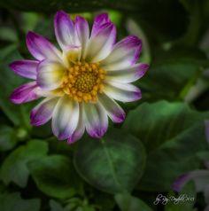 Spring flower by Ray Dondzila, via Flickr