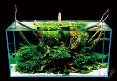 Open top aquascape with bolbitis