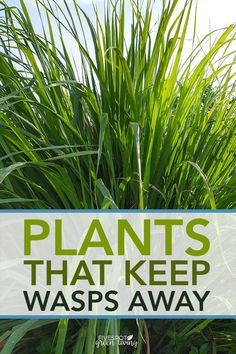 patio plants Do you know the best wasp repellent plants are to include in landscaping that look nice and also keep those nasty wasps away? Here are some tips for natural pest control usin Insect Repellent Plants, Wasp Repellent, Mosquito Repelling Plants, Wasp Deterrent, Garden Yard Ideas, Lawn And Garden, Garden Landscaping, Garden Layouts, Hill Garden