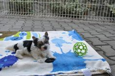 Biewer yorkshírsky teriér - 1 Biewer Yorkie, Dogs, Animals, Animales, Animaux, Pet Dogs, Doggies, Animal, Animais
