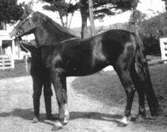 Vigilant Morgan-in my horse's (Royalty's Reflection/reg. Pinto) breeding