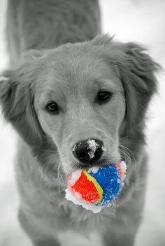 Golden Retriever with a golf ball