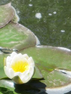Pond lilies.  (Prospect Valley Hospitality renovated historic 1872 property, Wheat Ridge, Colorado, USA)