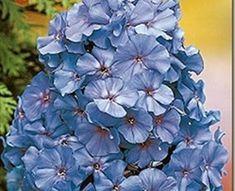Blue - Phlox