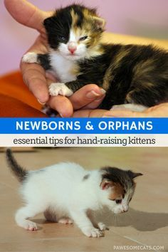 If you ever find yourself as surrogate mum and raising newborn kittens here's our advice on how to best care for those precious orphans | Raising Newborn Kittens - Tips for Surrogate Cat Mothers