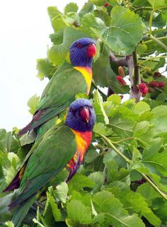 Rainbow Lorikeets in the Mulberry Tree