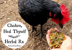 So how do I know holistic care for chickens works? Well, because I've been practicing it for years on my own flock. [read more...]