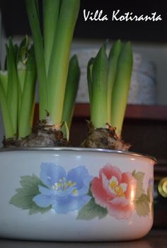 Jouluinen hyasinttiasetelma vanhassa emalikulhossa. / Christmas hyacinth in an old porcelain enamel bowl. Christmas Table Settings, Christmas Home, Flower Arrangements, Vegetables, Flowers, Plants, Floral Arrangements, Vegetable Recipes, Plant