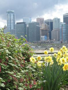 yellow daffodils and Vancouver skyline -- Photo by Beth Bryan