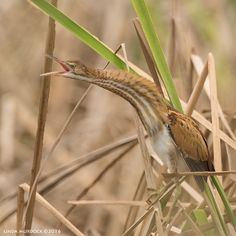 Least Bittern from San Bernard Wildlife Refuge, Texas. Shy and secretive year-round Texas resident.