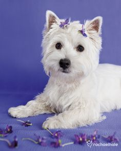 If I could have a dog, it would be a West highland Terrier