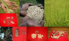 Medicinal Rice based Tribal Medicines for Diabetes Complications and Metabolic Disorders (TH Group-664) from Pankaj Oudhia's Medicinal Plant Database