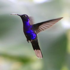 Violet Sabrewing - hummingbird