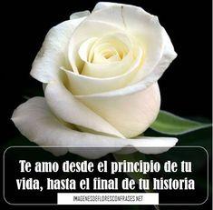 83 Mejores Imagenes De Rosa Blanca White Rose Flower White