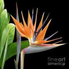 Royal Beauty I - Bird Of Paradise, by Ben and Raisa Gertsberg. This tropical orange crane flower, or strelitzia, and its green leaves stand out against dramatic black background. Lush exotic bloom adds a distinct touch of #Hawaii or Caribbean Islands' nature to #floral or #tropical #decor.