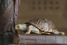 Which Direction Should the Feng Shui Tortoise Face?