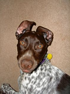 Pictures of German Shorthaired Pointer Dog Breed    It's our Lexie!