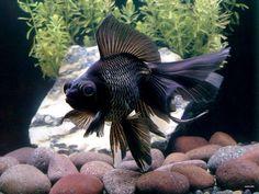 Goldfish - Couple of nice Black Moor shots.