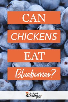 Chickens will eat blueberries, just like other types of berries, are tasty, nutritious, and a good treat for chickens. Hens will love it and even fight over it just to have a taste of this fruit. Chicken Eating, Chicken Feed, Canned Chicken, Chicken Treats, Chicken Recipes, What Can Chickens Eat, Types Of Berries, Organic Eggs, Backyard Chickens