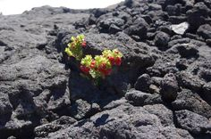 A plant grows from solidified lava. Photo by Alice Christophe