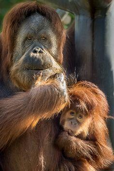 Orangutan Mom & Little Girl | by helenehoffman