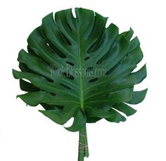 I love Monstera Leaves! Such a great way to give an event a tropical feel Ranunculus Flowers, Cymbidium Orchids, Tropical Home Decor, Tropical Houses, Tropical Furniture, Tropical Interior, Green Carnation, Flowers For Sale, Flowers Online