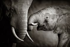 Elephant Affection by Johan Swanepoel