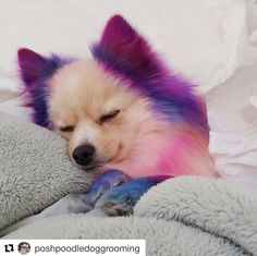 The 276 Best Crazy Dog Grooming Images On Pinterest Poodle