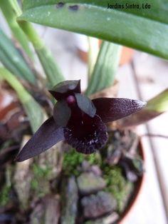 Maxillaria scrunkeana nos Jardins Sintra