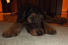 Airedale Terrier, Blue