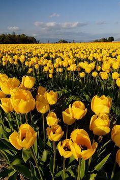 Wishing for spring, part deux. Tulip Field, via Flickr.