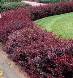 Purple-Leaf Berberis