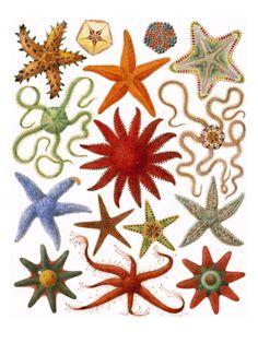 Starfish by English School. Print from Art.com, $49.99