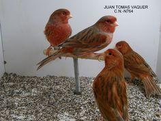 Bruno Rojo - Canarios de Colo