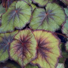 Begonia 'Fireflush' (Begonia rex hybrid)