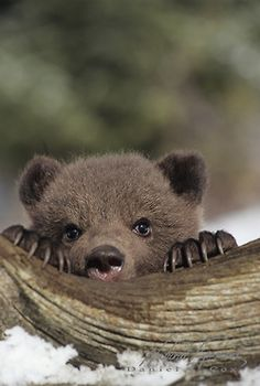 Grizzly Bear (Ursus horribilis) cub during early spring in Montana.