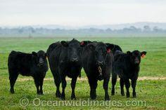 Black Angus Cattle calves grazing