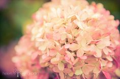 Nature Photograph Colorful Hydrangea Pink and by HelenMPhotography, Home Decor, Interior Design, Photograph, For your home