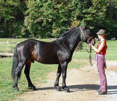 Castillonnais horse.
