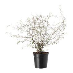 IKEA - COROKIA, Pflanze, Grünpflanzen und Übertöpfe im persönlichen Stil beleben die Einrichtung.