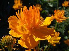 Globeflower (Trollius)