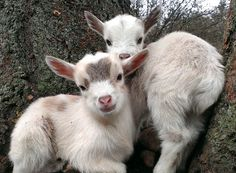 "If+there's+one+thing+that+warms+our+hearts+and+elicits+a+collective+""awww!""+from+the+Hobby+Farms+editors,+it's+a+baby+goat."