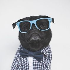 To celebrate Bow Tie Day we are having Bow Tie Week here at #thepugdiary! So let's see your fave bow tie pics for this week's pug photo challenge tagged #tpdbowtie