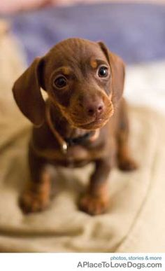 chocolate dachshund puppy